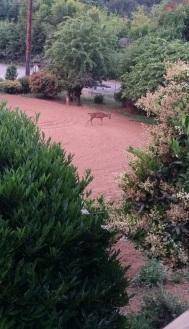 Very Hungry Deer